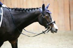 Cabeza de un caballo joven de la doma con el jinete desconocido en la acción Fotos de archivo libres de regalías