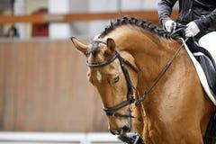 Cabeza de un caballo joven de la doma con el jinete desconocido en la acción Foto de archivo