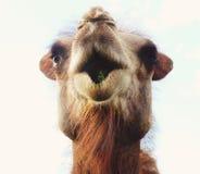 Cabeza de un camello contra el cielo Imágenes de archivo libres de regalías