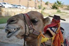 Cabeza de un camello en un fondo borroso de un oasis y de un desierto alth, aislado en el fondo blanco Fotografía de archivo