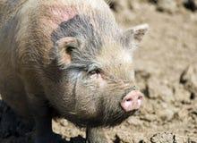 Cabeza de un cerdo lanoso grande Imagen de archivo