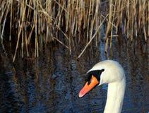 Cabeza de un cisne blanco Fotografía de archivo libre de regalías