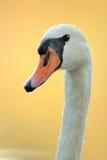 Cabeza de un cisne mudo Foto de archivo libre de regalías