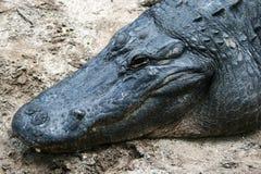 Cabeza de un cocodrilo Foto de archivo libre de regalías