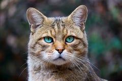 Cabeza de un gato montés europeo raro con los ojos azulverdes brillantes llamativos en la visión frontal foto de archivo