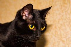 Cabeza de un gato negro en un fondo del papel pintado brillante fotos de archivo