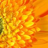 Cabeza de un hueso macra de la flor del Gerbera Imagenes de archivo