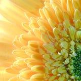 Cabeza de un hueso macra de la flor del Gerbera Fotos de archivo