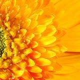 Cabeza de un hueso macra de la flor del Gerbera Fotografía de archivo