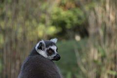 Cabeza de un lémur de Maki, mono del primate Fotografía de archivo libre de regalías