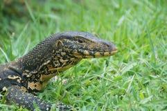 Cabeza de un lagarto Imagen de archivo