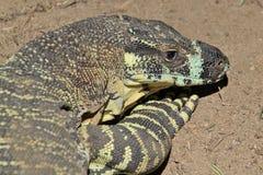 Cabeza de un lagarto del goanna Foto de archivo libre de regalías