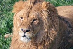 Cabeza de un león joven hermoso con las cicatrices en el fondo de la hierba verde fotografía de archivo libre de regalías