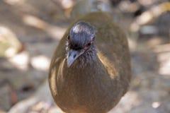 Cabeza de un pájaro de Chachalaca imagenes de archivo