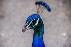 Cabeza de un pavo real que mira alrededor Fotos de archivo libres de regalías
