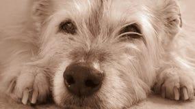 Cabeza de un perro desaliñado que se acuesta en sepia Fotos de archivo libres de regalías
