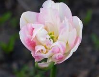Cabeza de un tulipán blanco-rosado Fotos de archivo libres de regalías