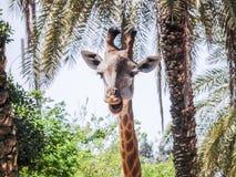 Cabeza de una jirafa en selva Imagen de archivo libre de regalías