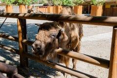 Cabeza del búfalo Foto de archivo
