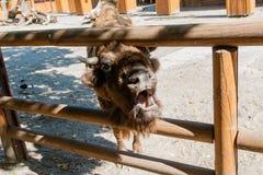 Cabeza del búfalo Fotos de archivo
