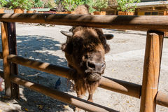 Cabeza del búfalo Imagen de archivo