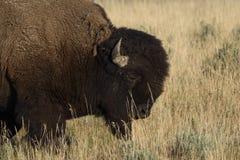Cabeza del bisonte Imagenes de archivo