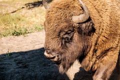 Cabeza del bisonte Imagen de archivo libre de regalías