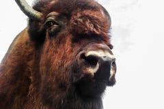 Cabeza del bisonte en el fondo blanco fotos de archivo libres de regalías