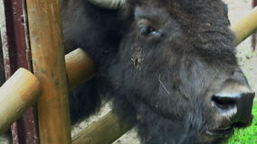Cabeza del bisonte Primer de la cabeza del bisonte detrás de las cercas en parque zoológico Cabeza animal almacen de metraje de vídeo