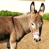 Cabeza del burro Foto de archivo libre de regalías