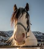 Cabeza del caballo frisio Foto de archivo libre de regalías