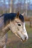 Cabeza del caballo árabe joven Imagenes de archivo