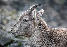 Cabeza del cabra montés alpino joven Imagenes de archivo