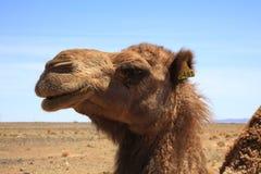 Cabeza del camello Fotos de archivo