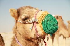 Cabeza 2 del camello Fotografía de archivo
