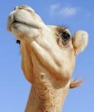 Cabeza del camello Imágenes de archivo libres de regalías