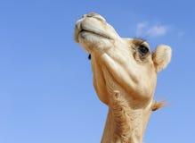 Cabeza del camello Fotografía de archivo