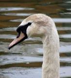 Cabeza del cisne Fotografía de archivo libre de regalías