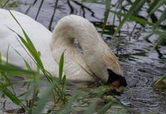 Cabeza del cisne en la alimentación del agua fotografía de archivo libre de regalías