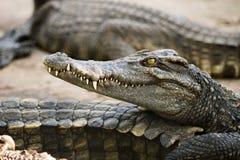 Cabeza del cocodrilo del agua salada Fotos de archivo libres de regalías