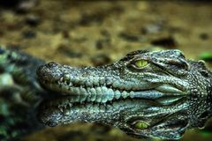 Cabeza del cocodrilo y el reflejo Fotos de archivo libres de regalías