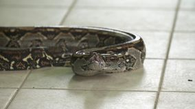 Cabeza del constrictor de boa | Aliste para pegar, Costa Rica almacen de metraje de vídeo