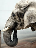Cabeza del elefante Fotografía de archivo