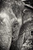 Cabeza del elefante Fotos de archivo