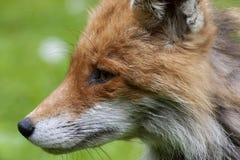 Cabeza del Fox Imagen de archivo libre de regalías