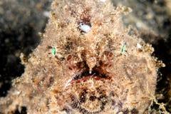 Cabeza del Frogfish encendido Fotografía de archivo