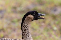 Cabeza del ganso de Nene Hawaiian, boca abierta fotos de archivo