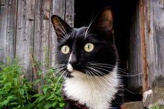 Cabeza del gato blanco y negro cerca de la vieja puerta de madera de la casa del pueblo en día de verano Foto de archivo libre de regalías