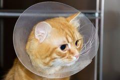 Cabeza del gato rojo, llevando un primer isabelino del cuello Fotografía de archivo libre de regalías