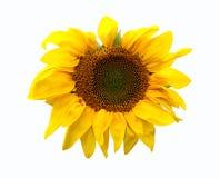 Cabeza del girasol Foto de archivo libre de regalías